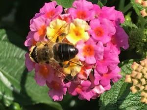 abeja oscura