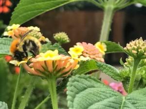 abeja pelirroja comiendo