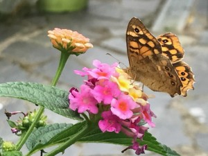 mariposa ojos
